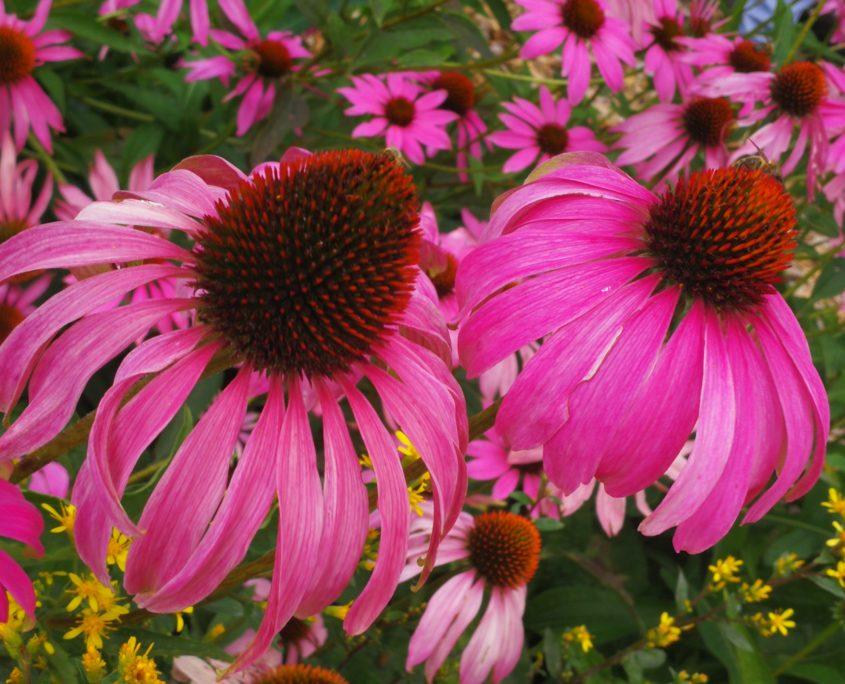 Echinacea er en smuk blomst. Den kan forbedre immunforsvaret og lindre forkølelses og influenza symptomer.